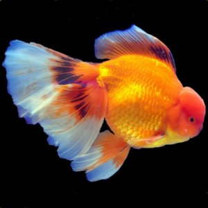 Raising Goldfish Fry Into High Quality Adults