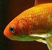 Male Goldfish develop breeding stars or tubercles on their gill plates and leading rays of their pectoral fins.