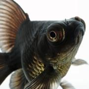 Black Moor Goldfish with good coloration of the lower belly area.