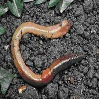 Earthworms are ideal for conditioning adults for spawning.