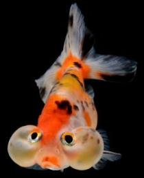 Water Bubble Eye Goldfish care requirements are high.