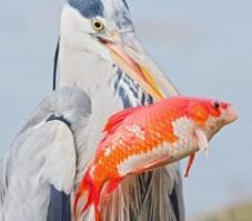 Gray heron with goldfish