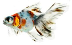 Calico Moor Goldfish