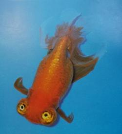 Celestial goldfish, one of the more highly developed varieties.