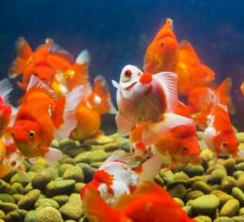 Goldfish care starts and ends with frequent water changes. Filtration should only be considered a backup to water changes.