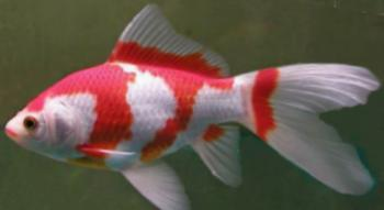 Red and white comet goldfish - photo#8