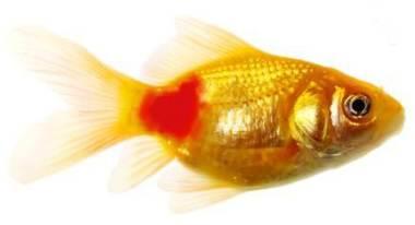 Goldfish Red Pest Disease Treatment