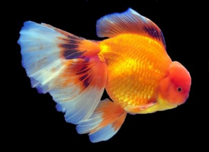 Veiltail Oranda Goldfish care requirements are high.