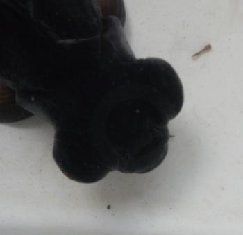 Black Moor goldfish with less developed eyes.