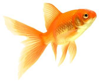 Comet goldfish about goldfish for Enfermedades de peces goldfish