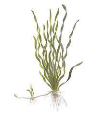 Corkscrew Vallisneria, a popular aquarium plant that resists Goldfish attack.