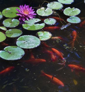 Goldfish pond filled with Common Goldfish, lilies and Gambusia.