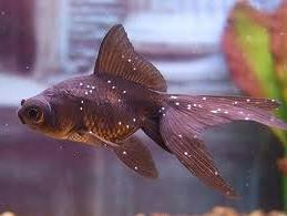 Black moor goldfish diseases