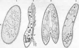 Examples of infusoria