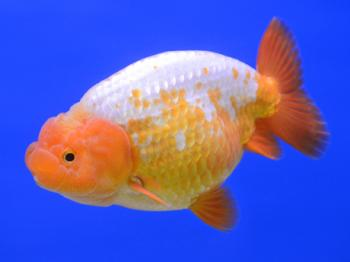 Lionhead Goldfish | Lionhead Goldfish The King Of Goldfish