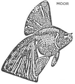 Nationwide Goldfish Societies UK standard for the Moor.