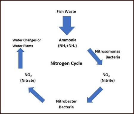 The Nitrogen Cycle, also known as the ammonia cycle breaks down waste into less harmful nitrates