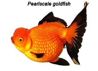 Pearlscale goldfish exibit dropsy like symptoms.