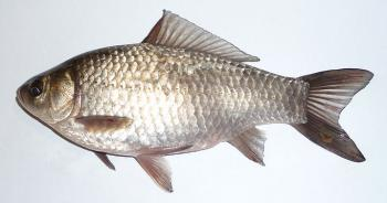 Prussian or Gibel Carp ancestor of all goldfish.