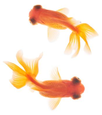 Red Moor Goldfish