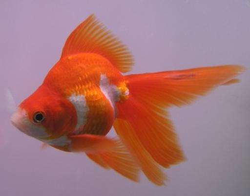 Fantail goldfish - photo#21