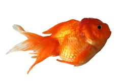 Goldfish showing signs of illness.