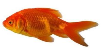 A Goldfish with clamped fins is a sure sign of sickness.