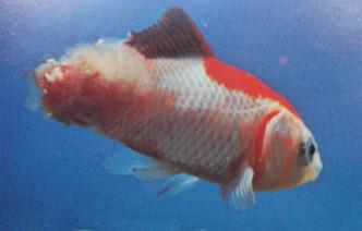 Goldfish with advanced tail rot disease.
