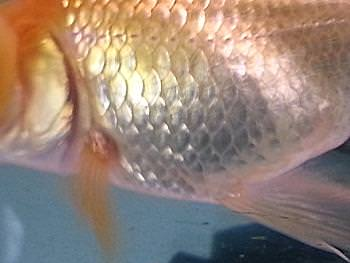 Ulcer on Goldfish successfully treated with salt and Methylene blue.
