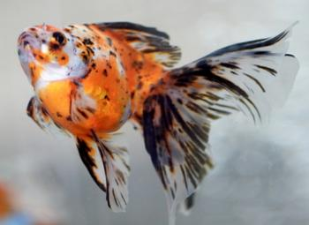 Nacreous scaled veiltail goldfish.