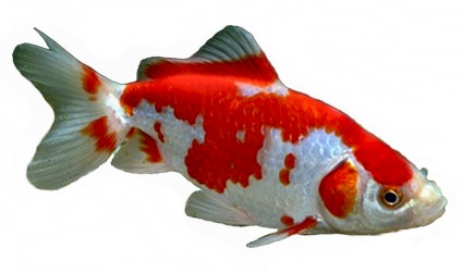 Japanese Wakin Goldfish, the most common variety kept in Japan.