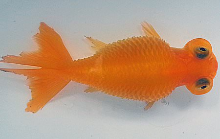Goldfish showing signs of Dropsy disease.