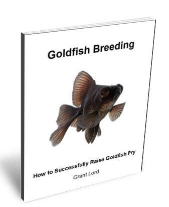 Goldfish breeding - how to successfully raise Goldfish fry.