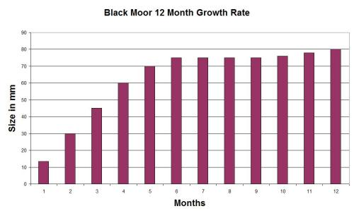 Black Moor Goldfish 12 month growth rate.