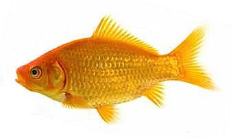 Common goldfish that started it all.