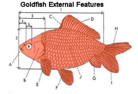 Goldfish external features