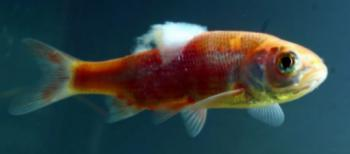 Fungus disease on the back of a young Goldfish.