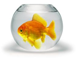 Bowls are not suitable for goldfish because their surface area is too small.