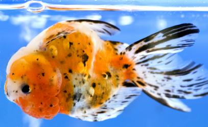 Goldfish with swim bladder disorder causing it to float upside down at the surface.