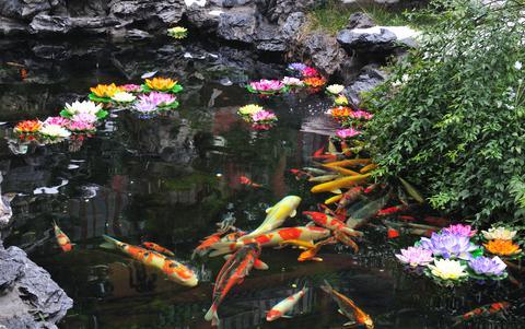Decorative informal Koi and goldfish  pond
