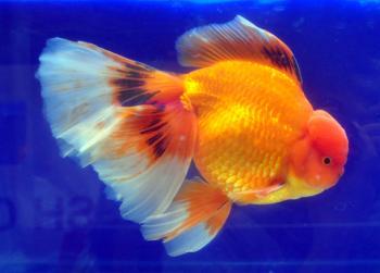 Oranda Goldfish metallic with veiltail
