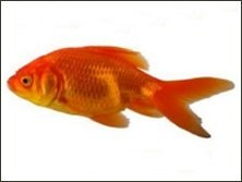 Goldfish showing early signs of sickness