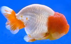 Ranchu Goldfish not to be confused with the Lionhead Goldfish