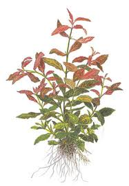 Red Hygrophila, a popular foreground plant that resists Goldfish attack.