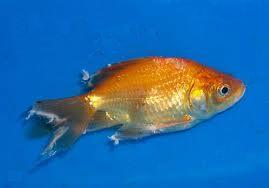 Goldfish with tail rot disease.