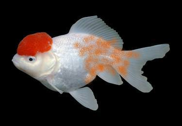 Velvet, also known rust disease is highly contagious, and is usually caught from contaminated tropical fish.