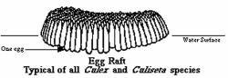 Mosquito egg raft containing hundreds of eggs.